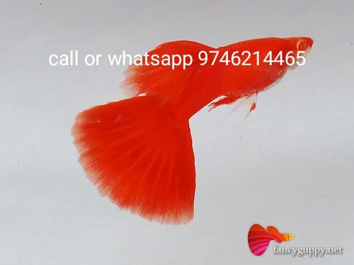 Red Guppy Fish Size 3 Rs 300 Pair Guppy World Id 19330787962