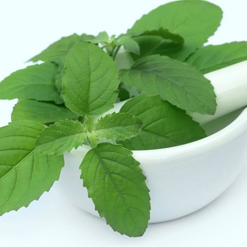 Medicinal Herbs - Stevia Plants Dry Leaves and Powder