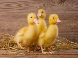 White Vigova Pekin Ducklings