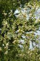 Sophora Japonica Extract