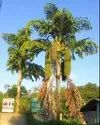 Fishtail Palm / Caryota Urens / Machli Palm Ornamental Palm Seeds