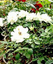White Roses Flower