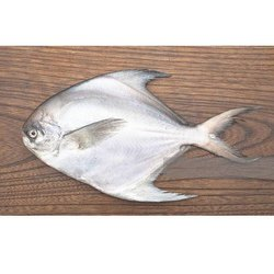 Silver Fresh Pomfret Fish For Hotel,Restaurant, Packaging Type: Thermocol Box