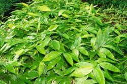 Dendrocalamus Asper Bamboo Plant