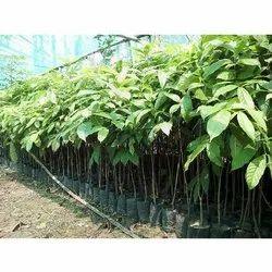 Fast Growth, Full Sun Exposure Avenue Plant, For Garden