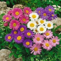 Aster Flower Seeds
