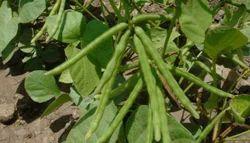 Green Gram Seeds  - Vaibhav