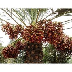 Red Date Palm Plant
