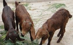 Brown Sirohi Goats