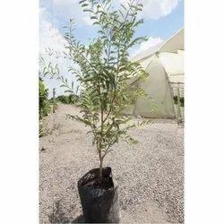 Sweet Tamarind Plant