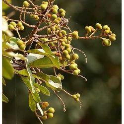 Reetha Fruit - Sapindus Trifoliatus