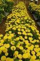 Shrawani Yellow Marigold Plant