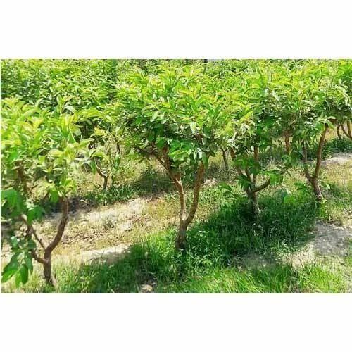 Lalit Guava Plant