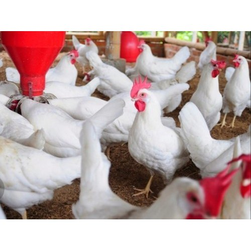 Layer Grown Up Birds Pullet Chicks