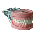 Student Teeth Model Addler 3214