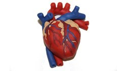 Human Heart Model At Rs 1250 Piece