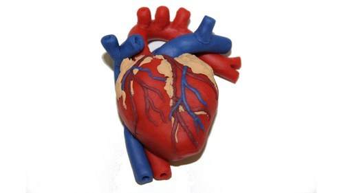 Human Heart Model At Rs 1250 Piece Defence Colony