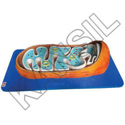 Mitochondria For Histology & Biomolecules Model