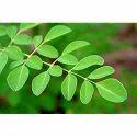 India- Germany Moringa Seeds Leaves