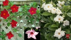 Well Watered Mandevilla Flower Plant, For Garden