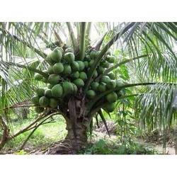 Green Coconut Tree
