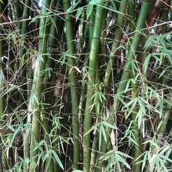 Bambusa Arundinacea Plant
