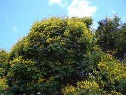 BKASHI BRAN Natural Peltophorum Pterocarpum (perunkondrai) Tree Seed 100gm, Packaging Size: 12x12x13
