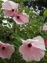 Pink Hibiscus Tree