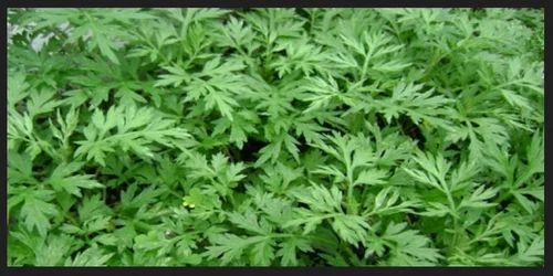 Artemisinin Leaves at ...