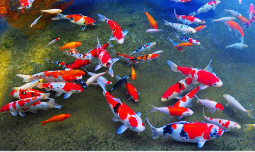 japanese koi fish at rs 750 piece kochi id 16182123230
