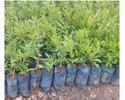 Pomogranet Plants