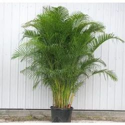 Areca Palm Tree