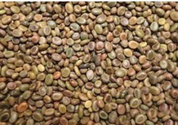 Kher Seed, For Germination, 50 Kg