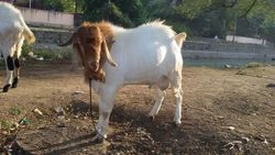 Pet Goat - Wholesale Price & Mandi Rate for Pet Goat