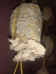 Maharashtra Florida Oyster Mushroom, Packaging Type: Plastic Bag, Packaging Size: 10 Kg