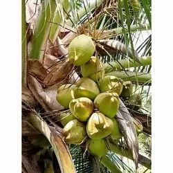 Raw Tender Coconut, Packaging Size: 20 Kg