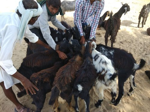 Wholesale Trader of Sirohi Breed Goat & Sojat Breed Goat by Alnoor