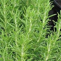 Rosemary Leave - Wholesale Price for Rosemary Leave in India
