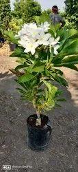 Super White Plumeria Pudica