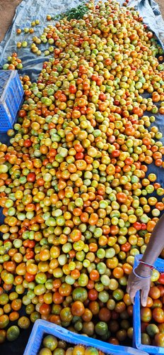 Red Tamil Nadu Organic Tomato, Pesticide Free  (for Raw Products), Packaging Size: 50 Kg