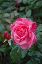 Glyator Rose Plants