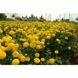 Well Watered Marigold Plants, For Garden