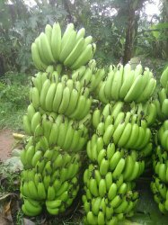 A Grade Pan India Green Banana, Packaging Size: 20 Kg, Packaging Type: Loose