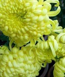 Chrysanthemums White Plant