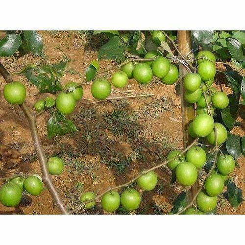Guava Thigh 7 Plant