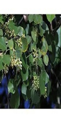 Shisham Plants