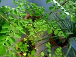 Nature & Nurture Moringa Seed Extract 10% Saponins