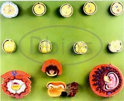 Human Embryo Development Model