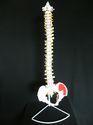 Human Vertebral Column With Pelvis Model
