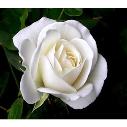 White rose natural flowers armd flowers plants chennai id white rose flower mightylinksfo
